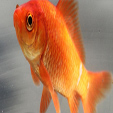 Goldfish - symbols of good luck