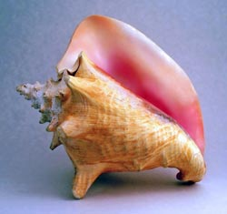 The Conch shell