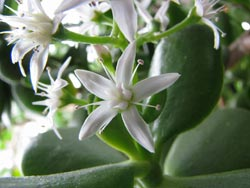 The Jade Plant