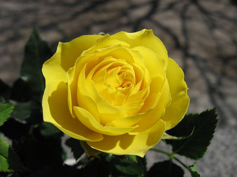 Friendship symbols a yellow rose mightylinksfo Image collections