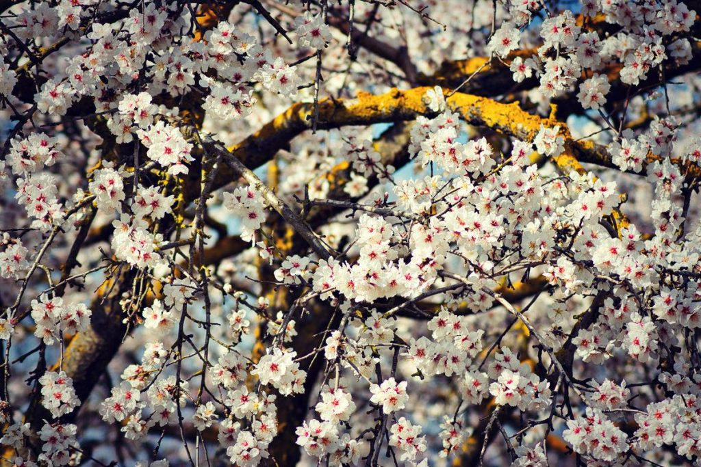 Almond Blossom - Symbols of Hope and Renewal